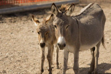 Mule Mother and son