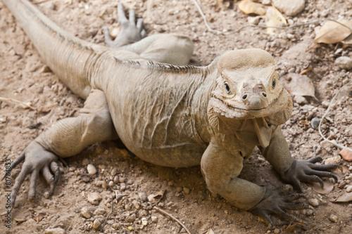 Foto op Canvas Neushoorn Closeup portrait of Rhinoceros Iguana lizard