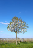 Vogelkirschbaum im Weinfeld