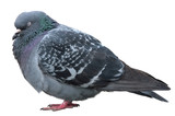 Sleeping dove. Grey dove isolated on white background. Feral poster