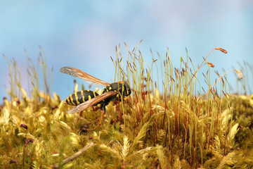 Wasp in forest on fresh green lush moss. Macro.