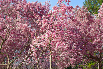 Blossoming dogwood trees near National Mall in Washington DC