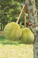 Dorian fruit on tree