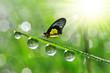 Leinwanddruck Bild - Fresh green grass with dew drops and butterfly.