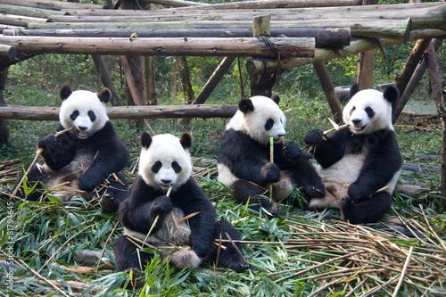 Fotobehang Panda 成都パンダ繁育研究基地のパンダ