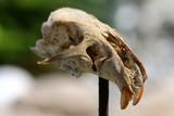 Totenschädel einer Maus auf Pflock, Wildwest poster