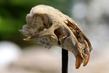 Totenschädel einer Maus auf Pflock, Wildwest