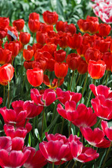 Beautiful spring flowers.  colorful tulips. Floral Background.