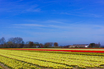 tulip flowers field.  colorful tulip farm