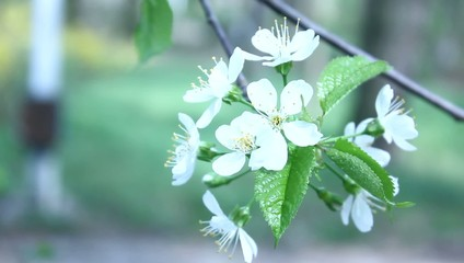 tree brach with white flowers of spring background