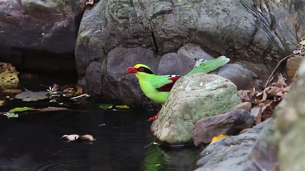 Portrait of Common green magpie(Cissa chinensis) drinking water