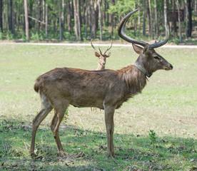 Sangai or Thamin deer