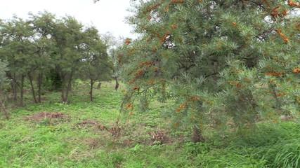 buckthorn tree in botanic park