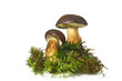 Leinwanddruck Bild - Mushroom Bay Bolete (Boletus radius) on white background