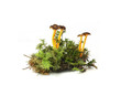 mushroom Yellowfoot ( Cantharellus lutescens) over white - 81800652