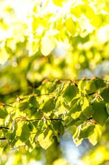 Frische Blätter im Sonnenlicht im Frühling