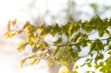 Blätter im Sonnenlicht im Frühling
