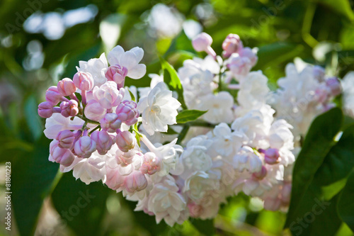 Foto op Canvas Lilac Close-up branch of white lilac