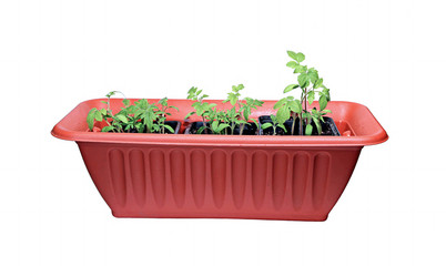 Many sprouts tomatoes in a brown box isolated