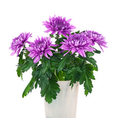 Bouquet of chrysanthemums in flower pot.