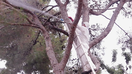 Pest control spraying in Pine tree