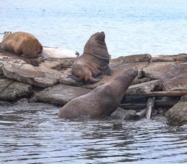 Sea eared seals on a pier
