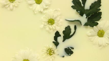 daisy flowing in milk