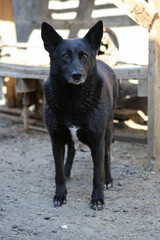 Black stray dog from the shelter