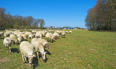 Herd of sheep walking in a sunny meadow in spring