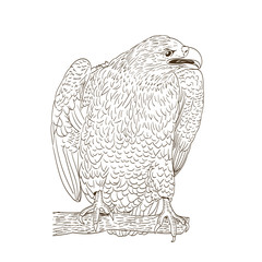 big eagle monochromatic drawing on white