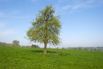 Tree in a sunny meadow in spring