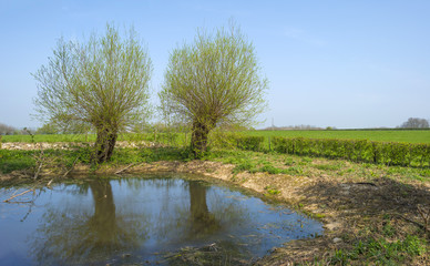 Pollard willows along a sunny lake in spring