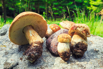 Wild Penny buns (Boletus Mushrooms) in the forest