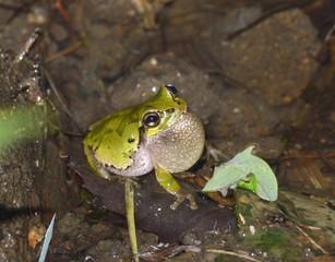 夜の田んぼで鳴く蛙