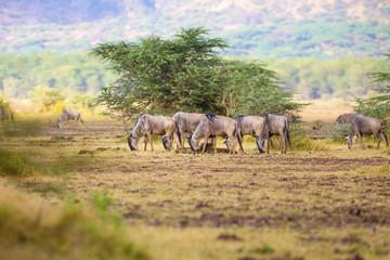 Herd of wildebeests eats grass in Africa