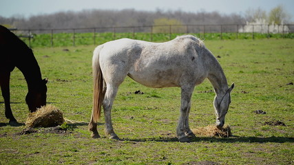 Young White Horse Graze on the Farm Ranch, Animal on Pasture