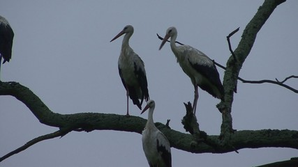 Storks sitting on a tree
