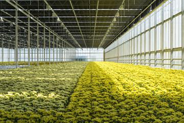 greenhouse chrysanthemum