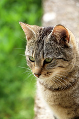 Brown tabby cat in the garden, head close-up.