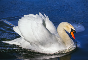 Swans are birds of the family Anatidae within the genus Cygnus
