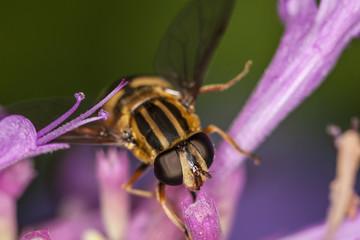 Hoverfly, Eupeodes Luniger
