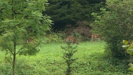 Fallow deer on the edge of the forest