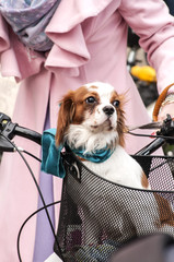 Little cute spaniel dog standing in front bicycle basket