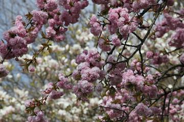 Baumblüten der Zierkirsche vor einer Magnolie