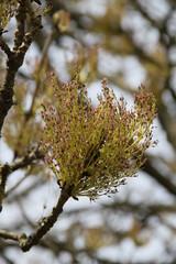 Kuriose Baumblüten einer Esche