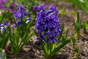 Purple hyacinths.