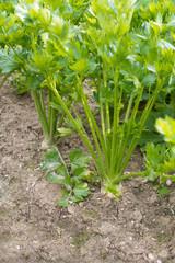 Growing celery in a garden