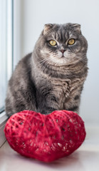 Scottish fold cat with red heart