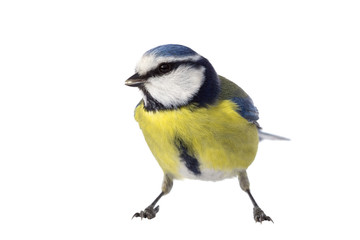 Blue tit on white background looking to the left