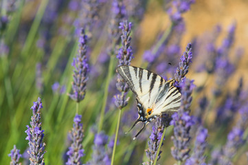 Old World swallowtail butterfly on Lavender